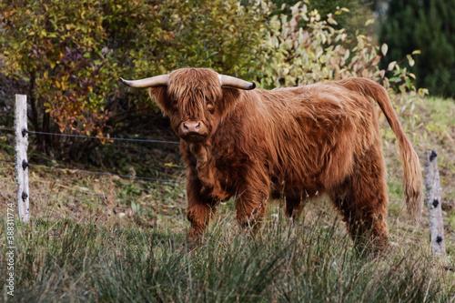 Fotografering vache de race highland