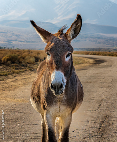 Fotomural Image of a burro, donkey and mule