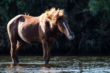 Wild Horse Shaking His Head To...
