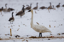 Trumpeter Swan (Cygnus Buccinator) And Canada Geese (Branta Canadensis) Feeding In A Snow Covered Corn Field That Has Been Harvested During Migration. Selective Focus, Background Blur And Foreground B