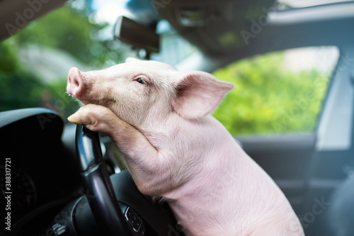 Fotografia, Obraz Funny pig hanging its paws on the wheel of a car. Driving pig.