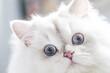 Biały długowłosy kot brytyjski