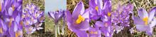 Wild Violet Croci Or Crocus Sa...