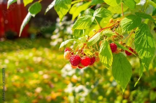 Fotografering Rasberry bush with fresh ripe Rasberries