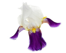 Blue White Striped Flower Of Iris, Isolated On White Background