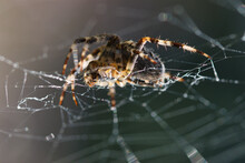 Orangie, Pumpkin Spider In A W...