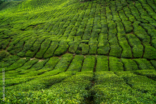 Fotomural green tea leaves stripes on plantation