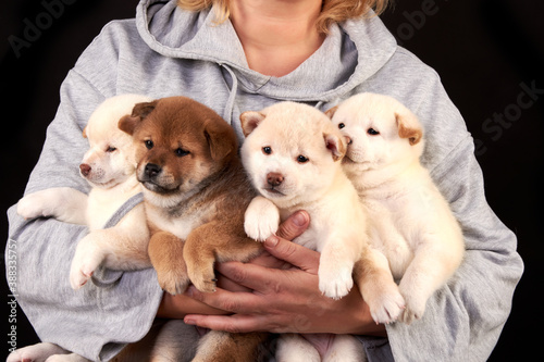 Slika na platnu Four cute Shiba inu puppies in the hands of a breeder