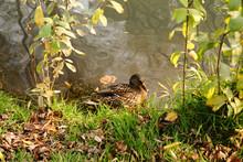 Duck Pond In Public Park. Wild Female Duck On Water. Autumn Scenery.