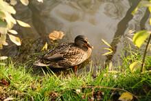 Duck Pond In Public Park. Wild...