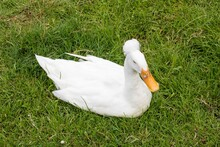 Beautiful Crested Duck Sitting In The Grass