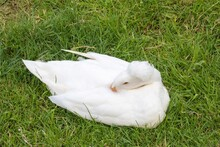 White Crested Duck Sleeping In The Grass