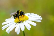 Bumble Bee Sucks Flower Nectar...