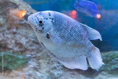 Fototapeta A captive bred morph of Three Spot Gourami known as Opaline Gourami