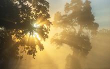Back Lit Oak Trees In Early Fo...