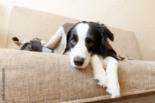 Tablou Canvas Funny puppy dog border collie lying on couch under plaid indoors