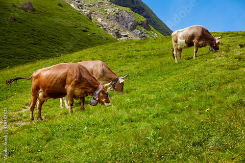 Three brown cows with big cowbells grazing on fresh green alpine pastures in Bernese Alps against clear blue sky Canvas