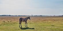 The Brown Cute Foal Grazes In ...