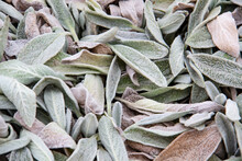 Leaves Of Stachys Byzantina In...