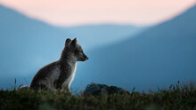 Arctic Fox (vulpes Lagopus) At...