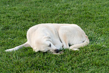 White Dog Sleeping In The Grass