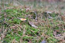 False Chanterelle Hidden In The Coniferous Forest