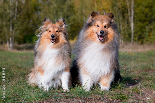 Stunning nice fluffy sable white shetland sheepdog male and female, sheltie sitting with yellow leaves background Fotobehang