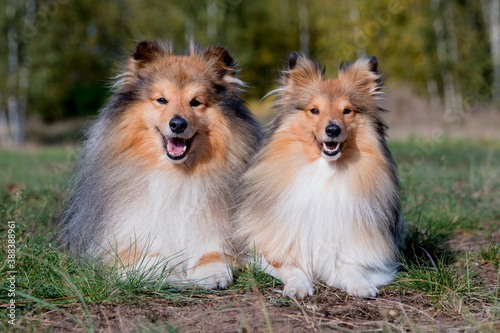 Foto Stunning nice fluffy sable white shetland sheepdog male and female, sheltie lies with yellow leaves background