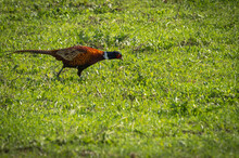 Large Bright Pheasant With Whi...