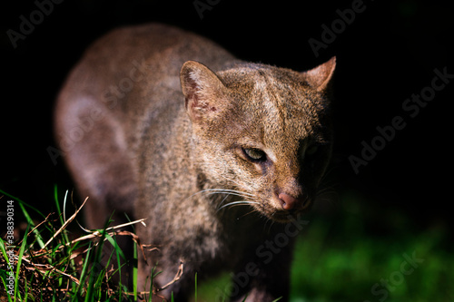 Obraz na plátně Herpailurus yagouaroundi - a small feline beast walking towards us