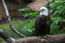 Bald Eagle Perched On The Ground