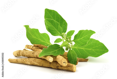 Canvas Ashwagandha Dry Root Medicinal Herb with Fresh Leaves, also known as Withania Somnifera, Ashwagandha, Indian Ginseng, Poison Gooseberry, or Winter Cherry
