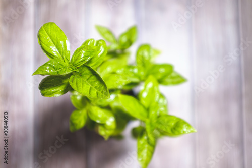 Obraz na plátně Green basil plant with green leaves on a wooden board