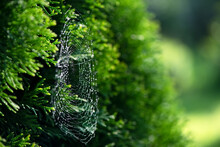 Cobwebs In The Sun On The Green Thuja