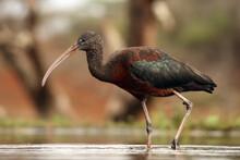 The Glossy Ibis (Plegadis Falc...