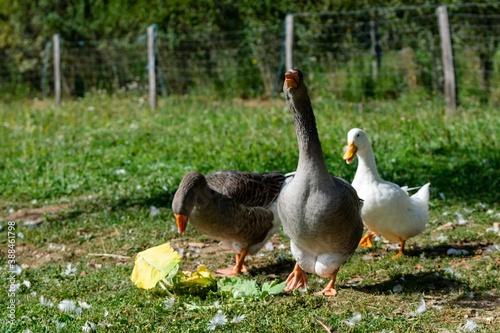 Tela group of ganders and ducks