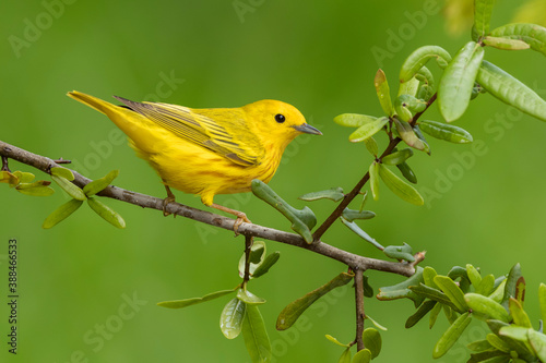 Yellow Warbler, Setophaga aestiva Canvas Print