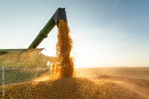 Fototapeta Combine transferring soybeans after harvest obraz