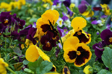 Yellow Pansies Flowers After Rain  On Flower Bed