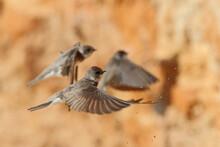 Sand Martin. Birds In Spring. Riparia Riparia