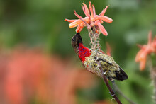 The Scarlet-chested Sunbird (C...