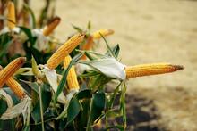 Peeled Corn On A Stalk