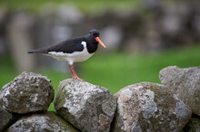 Oyster Catcher Sitting On A Ro...