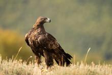 Aguila Real )Aquila Chrysaetos, Sierra De Guadarrama, Madrid, España