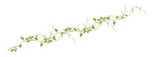 Heart Shaped Green Leaves Climbing Vines Ivy Of Cowslip Creeper (Telosma Cordata) The Creeper Forest Plant Growing In Wild Isolated On White Background, Clipping Path Included.
