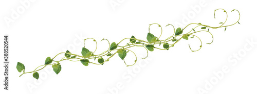 Heart shaped green leaves climbing vines ivy of cowslip creeper (Telosma cordata) the creeper forest plant growing in wild isolated on white background, clipping path included Canvas Print