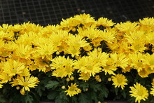 Beautiful Yellow Chrysanthemum Flowers At Full Bloom