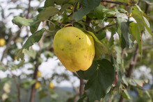 Ripe Yellow Quince Hanging In ...