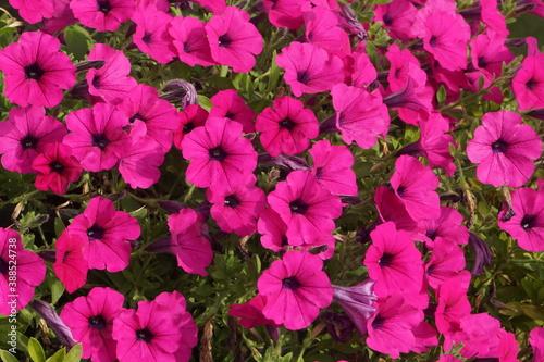 Cuadros en Lienzo a purple flower in full bloom in autumn.2