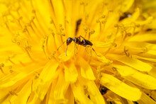 Ants On A Yellow Flower Smeared With Pollen Macro